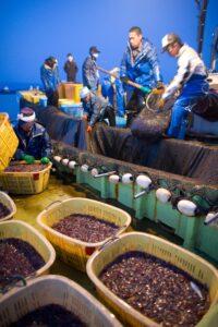 ホタルイカ漁